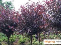 红叶李和红叶碧桃区别,外观和生长习性