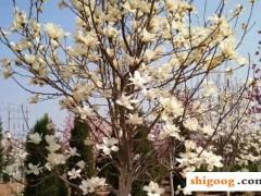 玉兰花有几种颜色?分别是那些品种