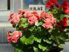 11支玫瑰代表什么